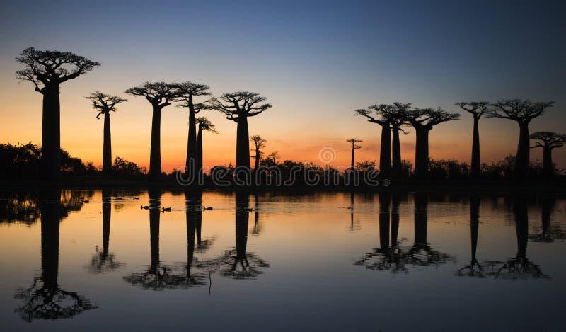 Baobabs en la salida del sol cerca del agua con la reflexión madagascar fotos de archivo libres de regalías
