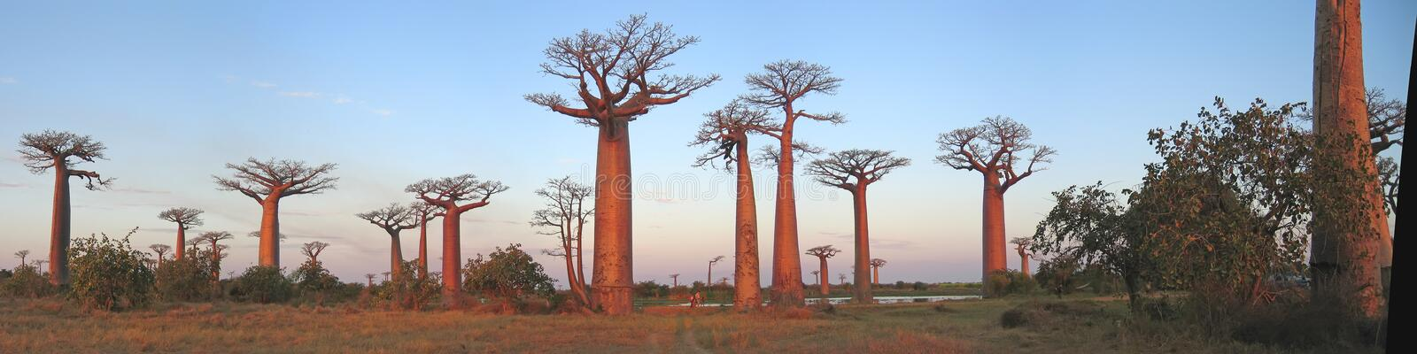 Baobabs forest, Baobab alley royalty free stock image