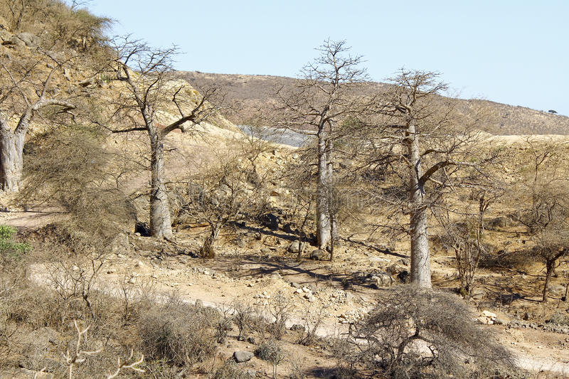 Baobabs in Jebel Samhan, Sultanate of Oman stock photo
