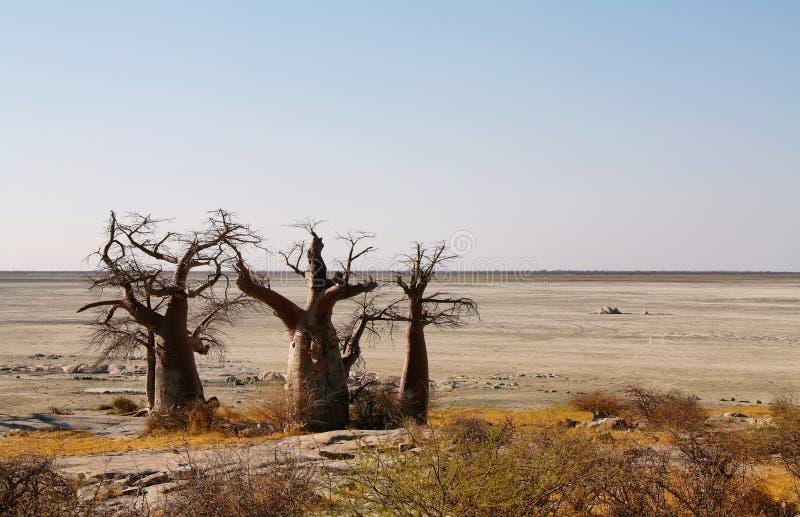 Baobabs on Kubu island in winter stock photos