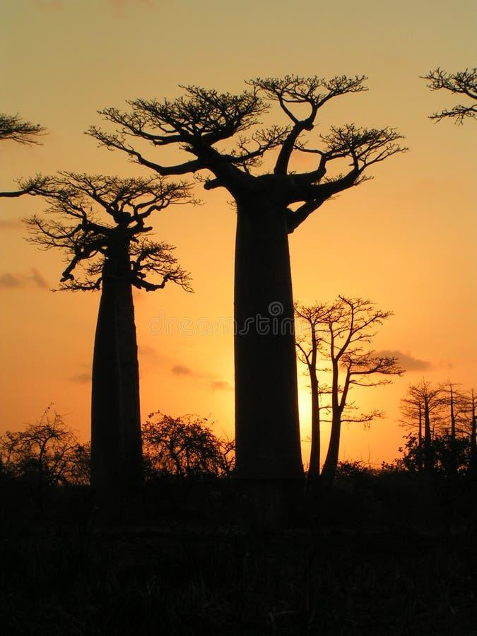 baobabs madagascar royaltyfri foto