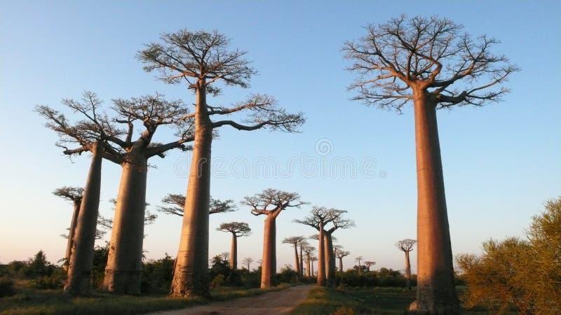 Baobabs. Madagascar stock photo