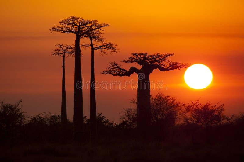 Baobabs med soluppgång royaltyfria foton