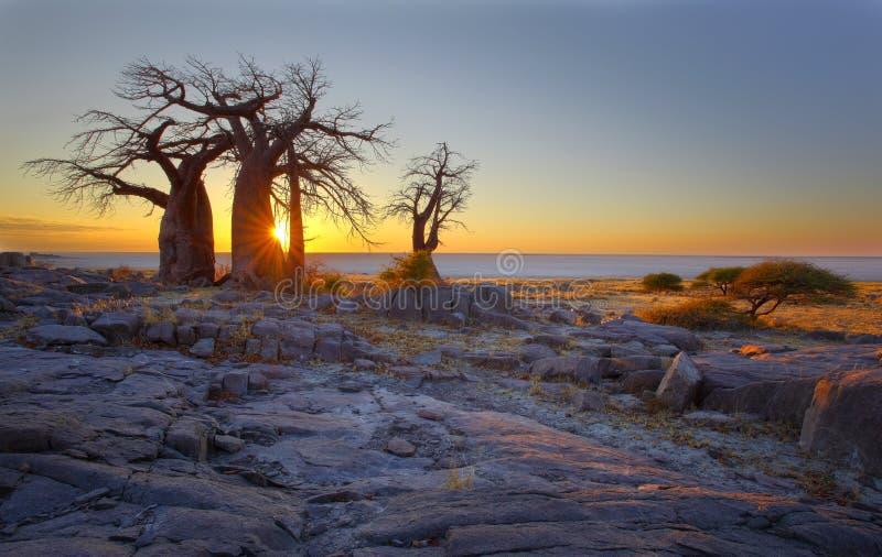 Baobabs på soluppgång arkivfoton