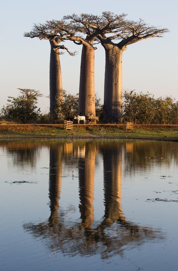 Baobabs på soluppgång nära vattnet med reflexion madagascar arkivbilder