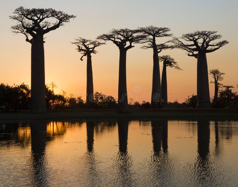 Baobabs på soluppgång nära vattnet med reflexion madagascar arkivfoto