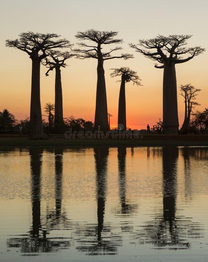 Baobabs på soluppgång nära vattnet med reflexion madagascar arkivfoton