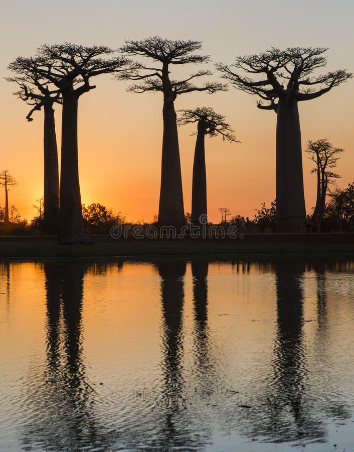 Baobabs på soluppgång nära vattnet med reflexion madagascar royaltyfria bilder