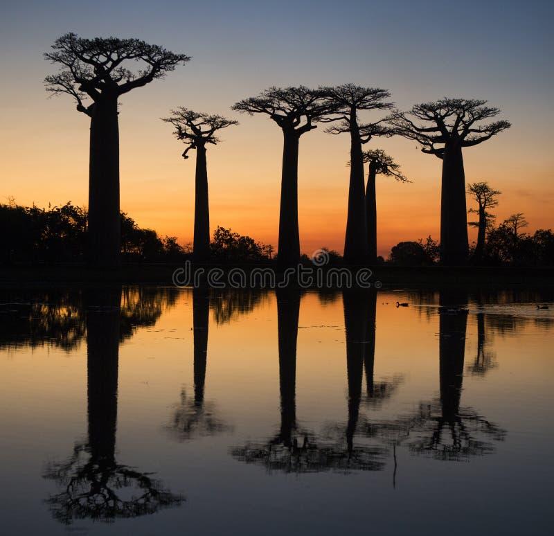 Baobabs på soluppgång nära vattnet med reflexion madagascar fotografering för bildbyråer