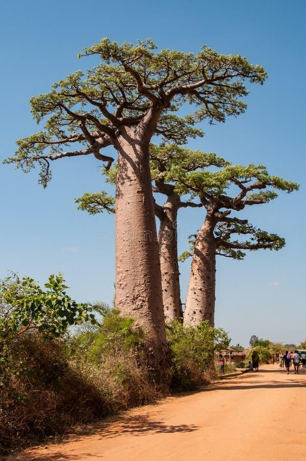 Baobabs perto de Morondava em Madagáscar imagem de stock