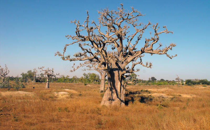 Baobabs in savanne. stock foto's