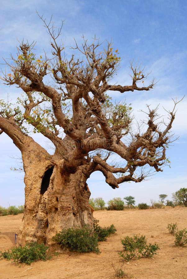 Baobabs in savanne. royalty-vrije stock foto