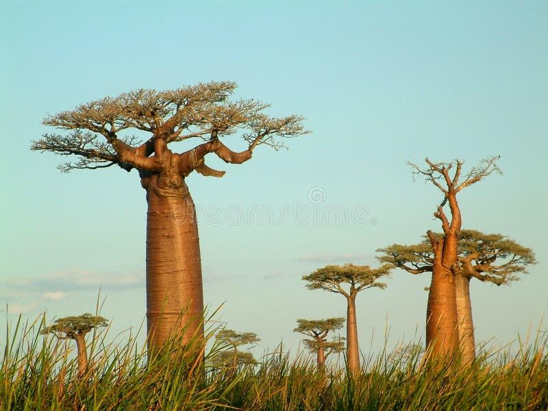 baobabsfält royaltyfri bild