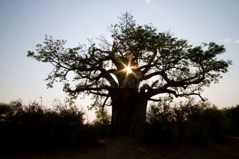 Baobabsilhouette arkivbilder