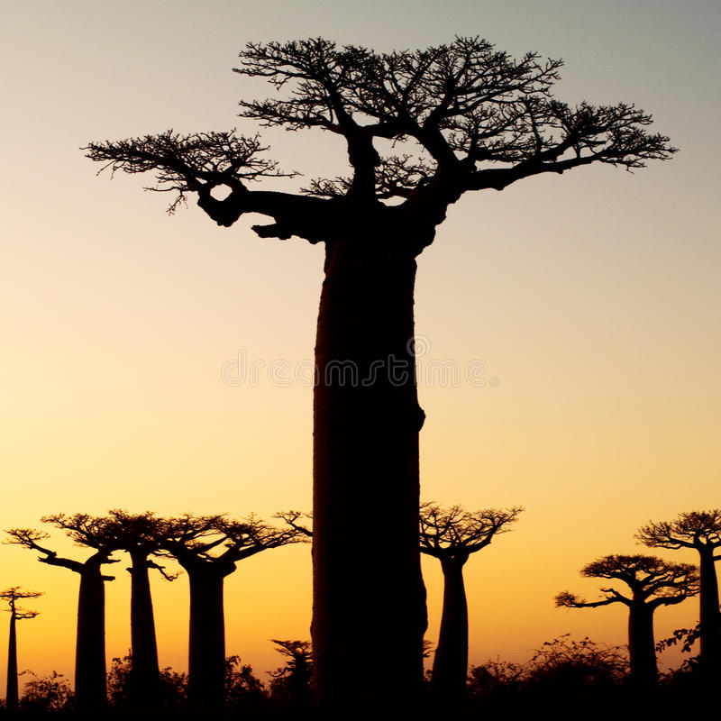 baobabsilhouettesolnedgång royaltyfria foton