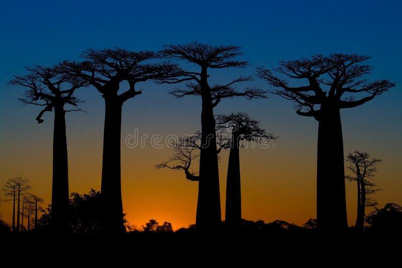 baobabssolnedgångtrees arkivbilder