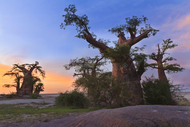 Baobabswald - Madagaskar stockbild