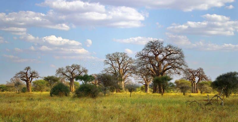 Baobabträd royaltyfri foto