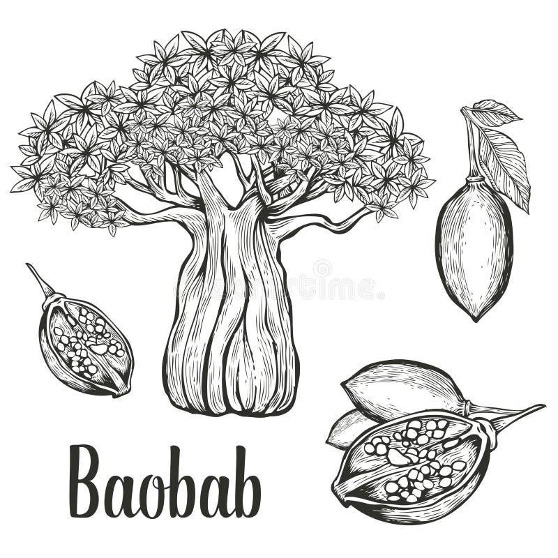 Baobabträd, frukt, blad, uppsättning för muttergravyrtappning Den drog handen skissar vektorillustrationen - uppsättning av isole arkivfoto
