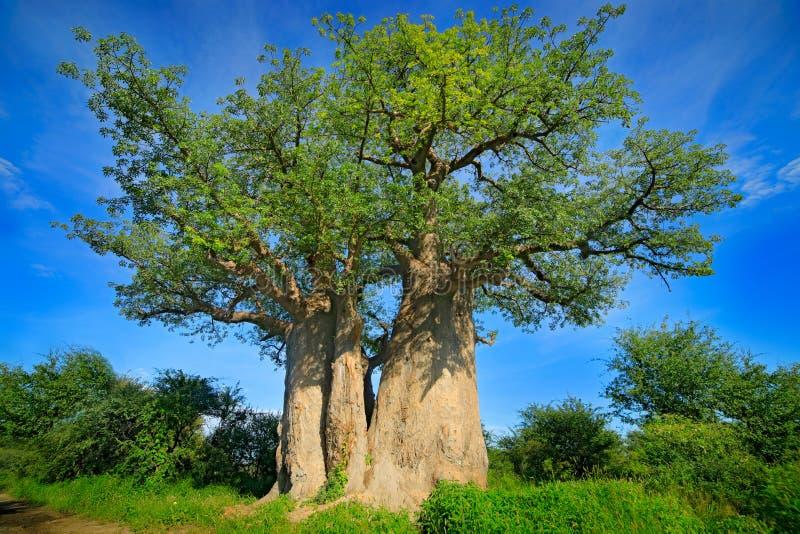 Baobabträd, gammal växt med gröna tjänstledigheter med blå himmel, Nxai panna NP, Botswana i Afrika Grön vegetation i våt afrikan arkivfoton