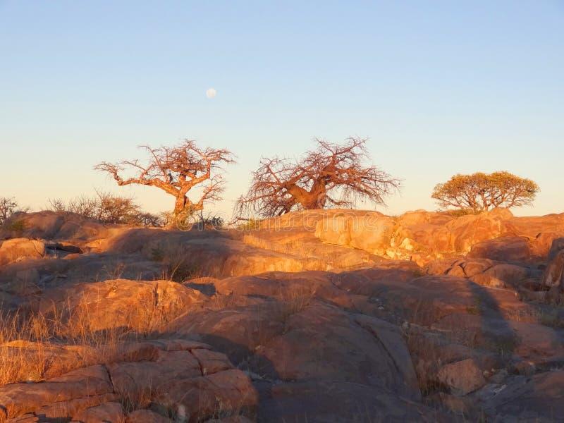Baobabträd i den Makgadikgadi pannan royaltyfria foton