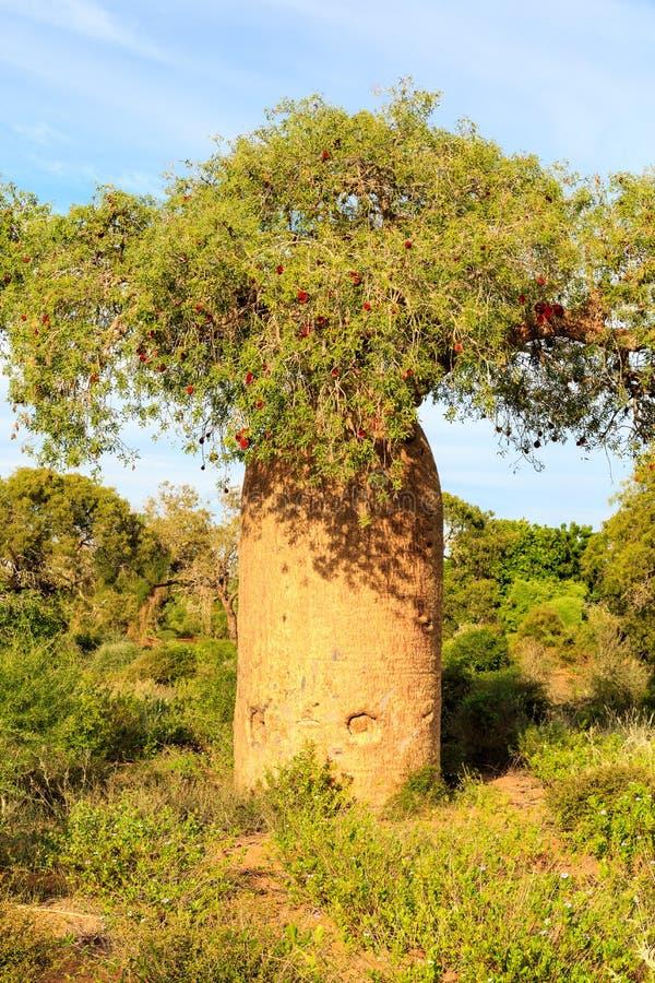 Baobabträd i detalj med frukt och sidor i en afrikansk landsc royaltyfri bild