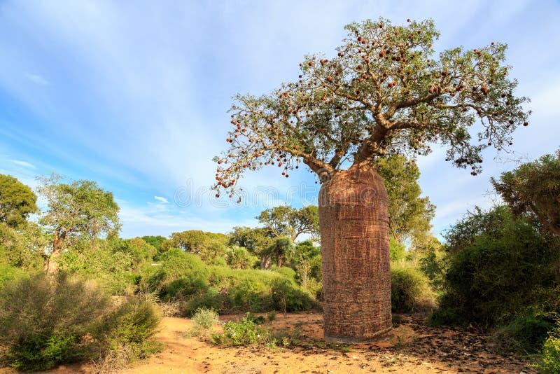 Baobabträd med frukt och sidor i ett afrikanskt landskap royaltyfria foton