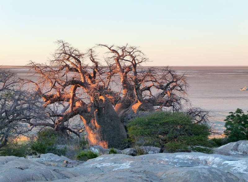 Baobabträd på den Kubu ön royaltyfria bilder