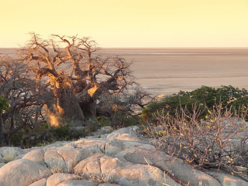 Baobabträd på den Kubu ön royaltyfri fotografi