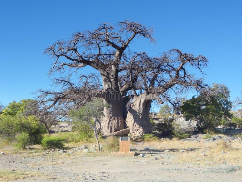 Baobabträd på den Kubu ön arkivbild