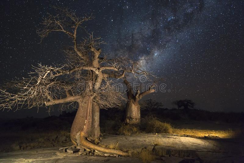 Baobabträd på natten royaltyfri foto