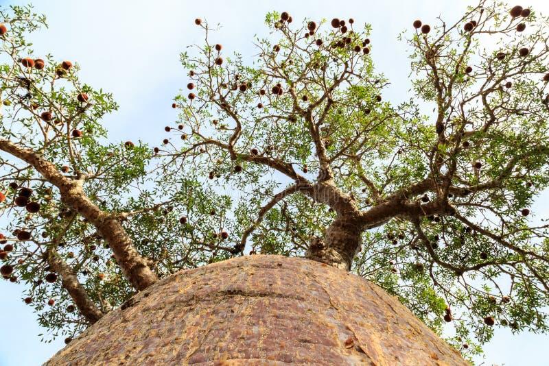 Baobabträd som underifrån ses se upp till filialerna arkivfoton