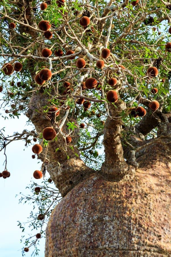 Baobabträd som underifrån ses se upp till filialerna royaltyfria foton