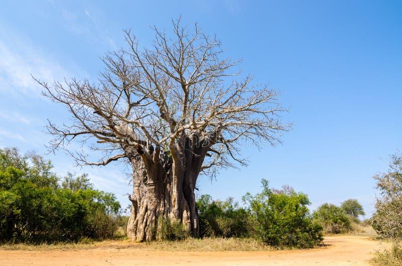 Baobabträdet på kruger parkerar, afrikanska träd Sydafrika royaltyfria bilder