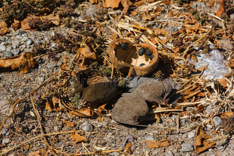Baobabträdfrukt och frö som är stupade på jordningen arkivfoton