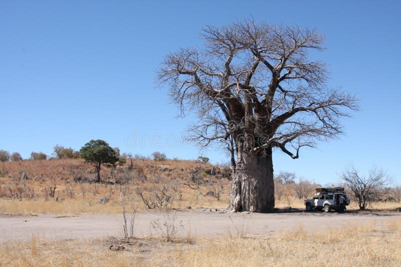 Baobabtree images stock