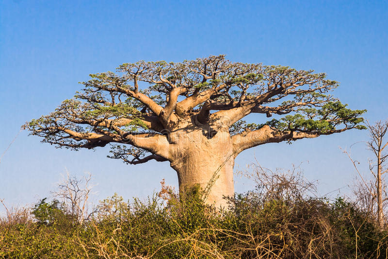 Baobabtree royaltyfri fotografi