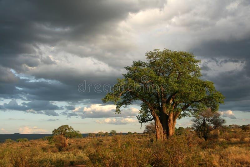 BaobabTree - Tarangire nationalpark. Tanzania Afrika royaltyfri fotografi