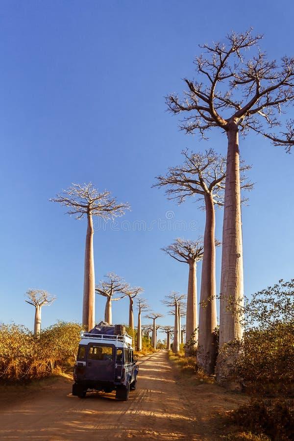 baobabu las Madagascar zdjęcie stock