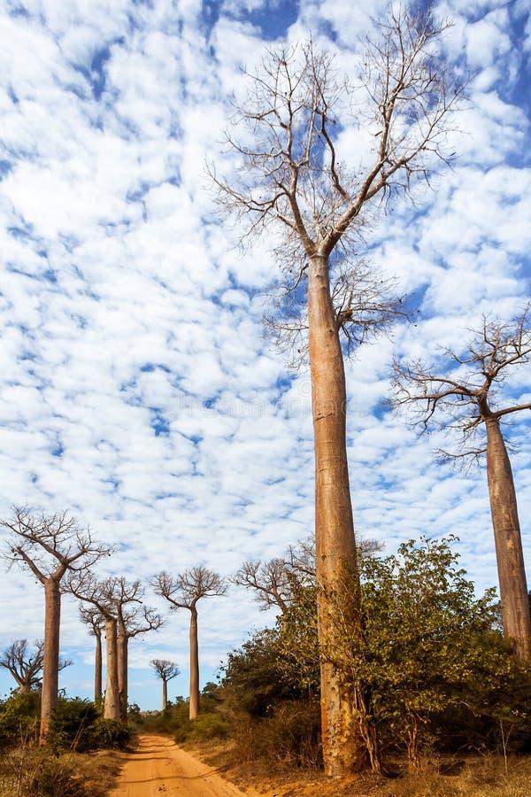 baobabu las Madagascar zdjęcia stock