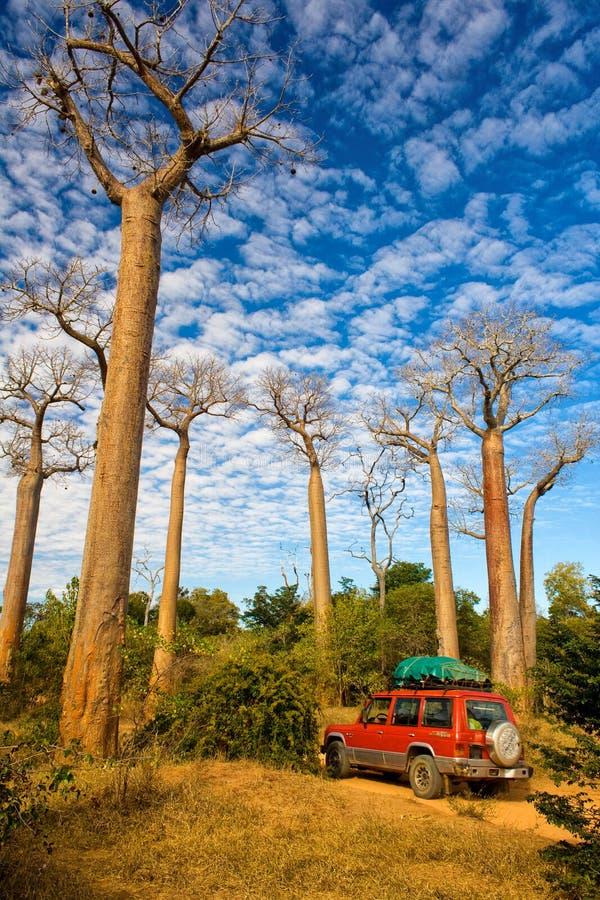 baobabu Madagascar drzewa fotografia stock