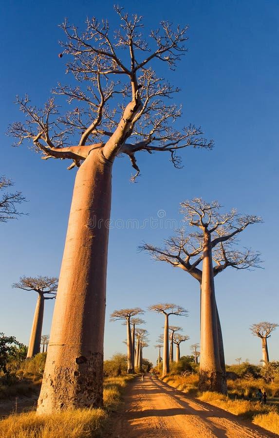 baobabu Madagascar drzewa zdjęcie stock