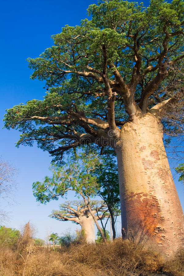 baobabu Madagascar drzewa zdjęcie royalty free
