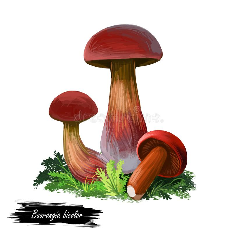 Baorangia biocolor, two-sided red and yellow bolete digital art illustration. Closeup of clipart veggie with thick steam. Plant growing from ground with grass stock illustration