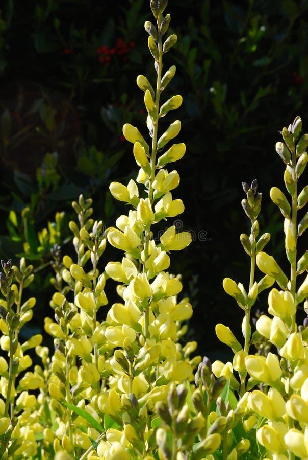 Baptisia amarelo do índigo falso (Fabaceae) foto de stock