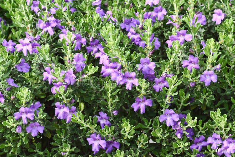 Barómetro Bush, o Texas Sage en la floración imagenes de archivo