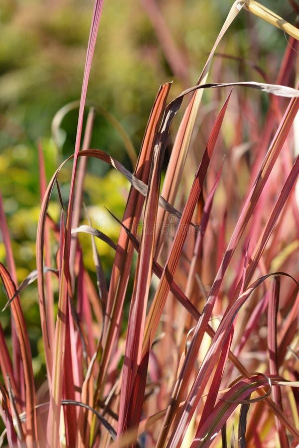 Barón rojo de hierba de sangre japonesa fotos de archivo