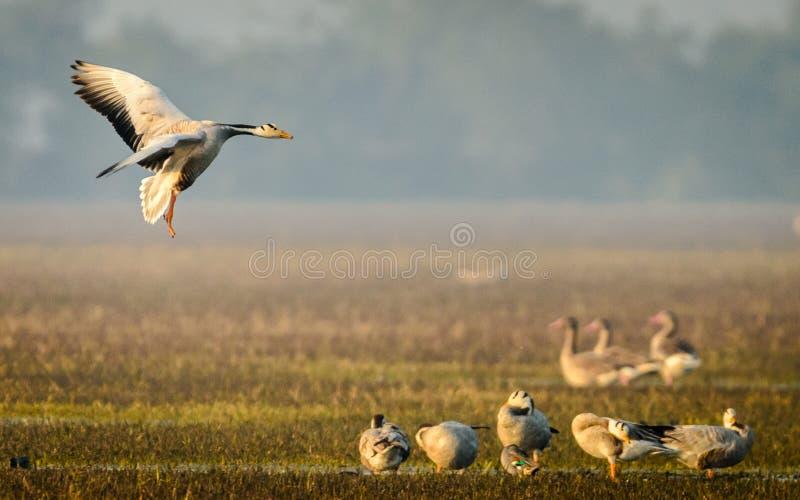 Bar headed Geese Landing. At Bharatpur, India stock image