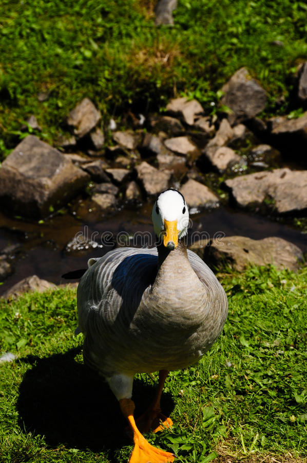 Free Bar Headed Goose Stock Photo - 11285970