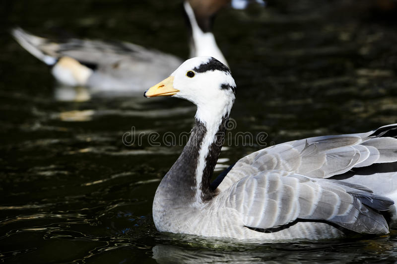 Download Bar Headed Goose stock photo. Image of anser, headed - 23923848